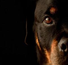 Verdi Portrait (mothermole) Tags: dog pet animal rottweiler portrait sigma105mm