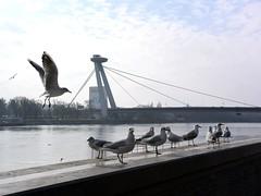 Gulls on the Danube River (danube9999) Tags: bird gull river danube danubeembankment bratislava