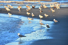 Sandbar (thomasgorman1) Tags: seagulls sunlight sea baja mexico nikon nature flock sand sandbar tide