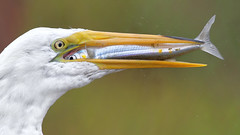 Eye to Eye (bmse) Tags: bmse salah baazizi wingsinmotion canon 7d2 400mm f56 l great egret bolsa chica fish fishing smelt bait
