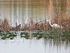 Great Egret and Common Gallinule 20180224 (Kenneth Cole Schneider) Tags: florida miramar westmiramarwca
