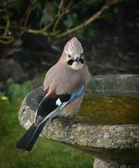 Jay (littlestschnauzer) Tags: jay bird bath garden winter 2018 emley uk yorkshire british local wildlife nature animal birds blue feathers brown rural countryside nikon tufty pretty