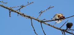La tenerezza appesa ad un ramo (Sara Stampa) Tags: cardellino uccelli inverno rami alberi nature natura tree bird dolcezza cantodegliuccelli albero cielo uccello