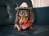 Long Little Doggie (cuppyuppycake) Tags: mymaisie smooth haired miniature dachshund puppy cute adorable maisie portrait dog animalblack background