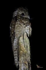 Great Potoo (fernaabs) Tags: great potoo nyctibius grandis bruja leona nictibiogrande caprimulgiformes nyctibiidae aves fernaabs burgalin avesdecostarica