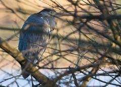 Ardea cinerea cinerea Linnaeus, 1758 - grey heron (axel.becker73) Tags: reiher graureiher fischreiher vogel aves bird birding wildlife wildlifephotography lake schwerin germany deutschland morning bush