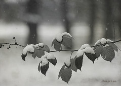It's Snowing ... (MargoLuc) Tags: snow trees leaves park snowing time winter march white monochrome bw bokeh
