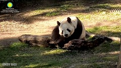 2018_03-04b (gkoo19681) Tags: tiantian dabigguy sohandsome proudpapa fuzzywuzzy adorableears sunkissed resting peaceful contentment comfy precious meltinghearts cooldude ccncby nationalzoo