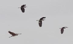 Great Blue Heron (glenbodie) Tags: bodie glen glenbodie reifel