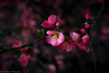 Japonica-0379-2 (vdrobphoto) Tags: canon5d111 japonica flowers flora floral pink quince