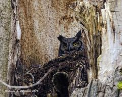 030418 Momma On Defense (wildcatlou) Tags: nisquallynationalwildliferefuge march earlyspring nature wildlife bird birds owl greathornedowl latewinter