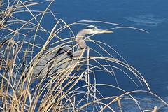 Heron 001 (Val Hightower) Tags: greatblueheron heron lakeconway conway mayflowerarkansas mayflower arkansas