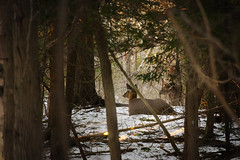 Just Sittin' Here (Adam Curran) Tags: saintjohn saint john newbrunswick new brunswick rockwoodpark rockwood park trees forest deer animal outdoor outdoors snow woods woodlands