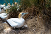 _HDA0981.jpg (There is always more mystery) Tags: capekidnappers gannets northisland newzealand clifton hawkesbay nz
