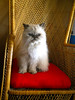 Must be Monday (teekeek) Tags: layla himalayan kitty cat