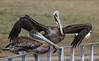 brown pelican (Pelecanus occidentalis) (im2fast4u2c) Tags: brown pelican pelecanus occidentalis