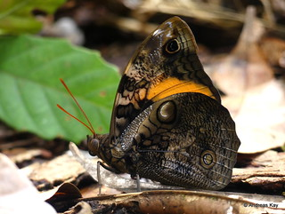 Butterfly, Opsiphanes cassina