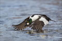 Common Goldeneye Rushing Along. (Daniel Cadieux) Tags: goldeneye commongoldeneye drake male fly flying run running ottawa ottawariver wings