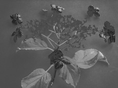 P1070469_edited-1 (davidbishop11) Tags: blackwhite flowers leafs abstract
