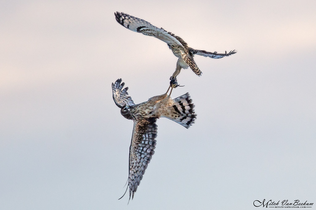 Vole Stretcher (Northern Harrier vs. Short-Eared Owl)