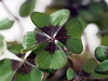 Glück für 2018 / Luck for 2018 (ingrid eulenfan) Tags: new purposescrazy tuesday theme 7dwf glück glücksklee luck makro macro pflanze