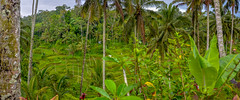 ... green, green, green ... (wolli s) Tags: bali indonesia green panorama rice ricefields stitched tegallang tegallalang indonesien id