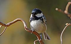 Cincia mora b DSC07123 (massimocenedese) Tags: cincia morabirds uccelli natura sony a6500nature