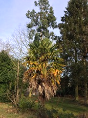 Trachycarpus fortunei in the grounds of York University UK (Christopher Arundel) Tags: trachycarpusfortunei trachycarpus fortunei palm tree evergreen universityofyork chusanpalm chusan hardy