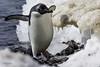 Happy Penguin (puliarf) Tags: antarcitca pauletisland snow ice penguin gentoopenguin adeliepenguin pygoscelisadeliae
