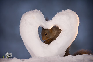 red squirrel standing behind a snow heart