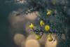 evening gorse (Emma Varley) Tags: gorse flowers spiky thorns evening bokeh warm light sullingtonwarren westsussex yellow winter january