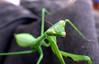 res3 (nigeldunn73) Tags: insect macro praying mantis panasonis lumix fz1000
