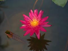 บัวลูกผสมข้ามสกุลย่อยสัญชาติไทย 'ดิโก้ กอลลิ' Nymphaea 'Diego Galli' HxT (ISG) Waterlily Thailand 10 (Klong15 Waterlily) Tags: wahgarden thailandwaterlily pond pondplant diego galli diegogalli diegogalliwaterlily nymphaea gardener lotus flower lotusflower hxtwaterlily intersubgenericwaterlily isgwaterlily บัว บัวลูกผสมข้ามสกุลย่อย ดอกบัว ไม้ดอกไม้ประดับ landscape landscapes ดอกบัวสวยงาม