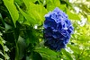 On the side (sal tinoco) Tags: hydrangea flower fantasticflower nature