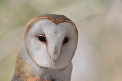 Barn Owl Portrait (dbifulco) Tags: nature birdofprey bird face barnowl