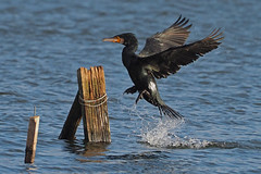 cormorant (explore) (DODO 1959) Tags: wildlife wales outdoor nature fauna animal avian birds cormorant kenfig nnr water olympus omdem1mk2 300mmf4 micro43 x14