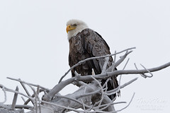 February 4, 2018 - A Bald Eagle weathers the cold and snow. (Tony's Takes)
