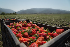 Strawberry fields forever (Mariano Colombotto) Tags: lules tucuman argentina landscape paisaje field strawberry hills cerros fruit frutillas fruta travel nikon ngc photographer photography
