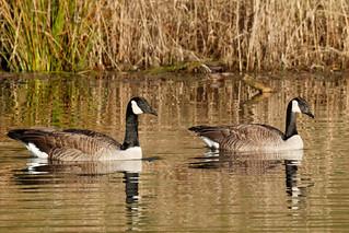 Canada Geese - pair