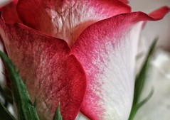 Macro on Monday! 😀👍😀 (LeanneHall3 :-)) Tags: rose rosepetal petals flower pink white closeup closeupphotography macro macrophotography macroextensiontubes flowerarebeautiful flowersarefabulous flowerflowerflower canon 1300d