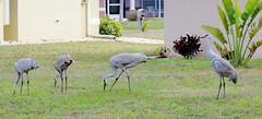 Sandhill Crane Family (Grus canadensis); Punta Gorda, FL [Lou Feltz] (deserttoad) Tags: bird wildbird nature pond wader flight crane florida behavior