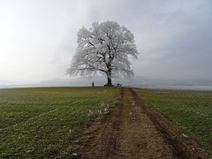 Linde mit Raureif bei Büelmatt Wichtrach im Winter (Martinus VI) Tags: raureif hoarfrost hoar rime frimas winter hivers y170102 aaretal canton de kanton bern berne berna berner bernese schweiz suisse suiza switzerland svizzera swiss martinus6 martinus6xy martinusvi martinus