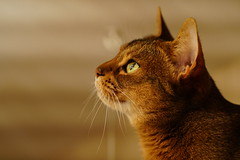 Sparkling eye (DizzieMizzieLizzie (Down for a while)) Tags: planar f14 50mm sony zeiss fe za 2018 style golden digital awesome ilce ilce6500 a6500 beauty ネコ chat kitteh gatos mačka кошка katė kaķis kucing köttur γάτα kissa kočka 猫 kedi macska neko yellow cute pisica meow kot katzen katze katt gatto gato feline chats cat portrait dizziemizzielizzie lizzie wonderful beautiful aby abyssinian pet dog