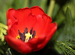 Red Tulip (abrideu) Tags: abrideu canoneos100d red tulip macro bright bokeh depthoffield flower plant ngc npc