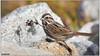 Song Sparrow DSC_3831 (blindhogmike) Tags: song sparrow columbia sc south carolina vogel natur tierwelt faune oiseau nature