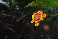 Flowers (Sean Munson) Tags: kauai hawaii waimeacanyon plant flower flowers macro bokeh canyontrail hiking