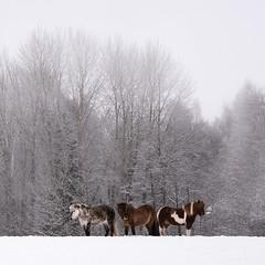 Winter Wonderland (Per Dahlgren) Tags: winter horse häst vinter snö snow fog white hill skinnskatteberg