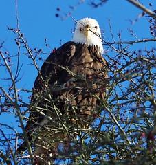Ol Red Eye (petejam70) Tags: vancouvercanada eagle birdsofprey beautiful wings sunny park awesome nature