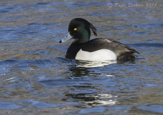 Tufted duck 06