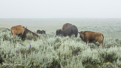 I Gotta Go Now_27A0425 (Alfred J. Lockwood Photography) Tags: alfredjlockwood nature wildlife bisonbison herd reddog calf fog haydenvalley chaparral yellowstonenationalpark wyoming summer morning